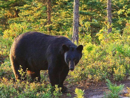 Essipit - Observation de l'ours noir