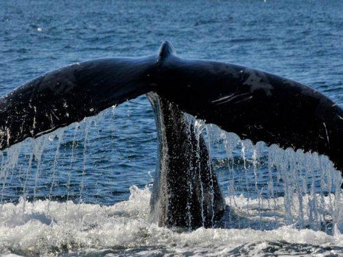 Essipit - Queue de baleine
